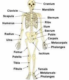 Labeled Human Skeleton Human Skeleton Label  U2013 Human Body