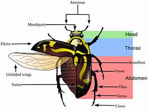 Basic Insect Morphology