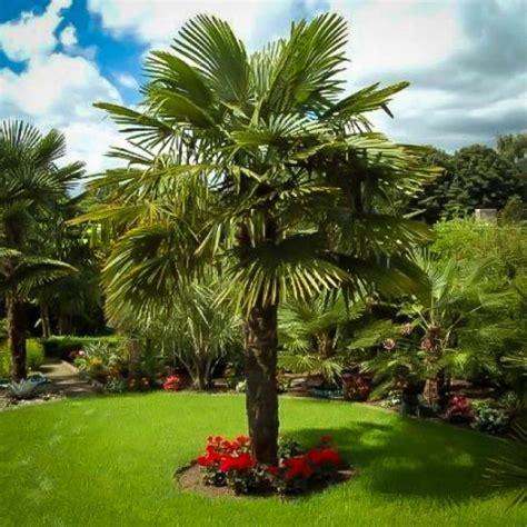 windmill palm trees tree trachycarpus fortunei garden landscaping palms palmeras chinese cold florida plants jardines yard grow palmiers landscape jardin