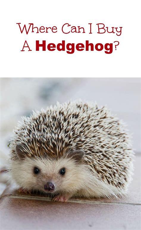 Baby Pet Hedgehog  Wwwpixsharkcom  Images Galleries