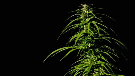 cannabis  black background stock footage video