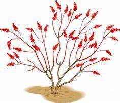 Oleander Alte Blüten Abschneiden : hibiskus richtig schneiden mein sch ner garten pinterest g rten pflanzen und gartentipps ~ Yasmunasinghe.com Haus und Dekorationen