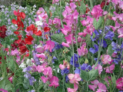 picture of sweet pea windmill farm sweat pea is april flower month