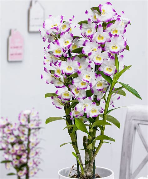 indoor plant food buy house plants now orchid dendrobium irene smile