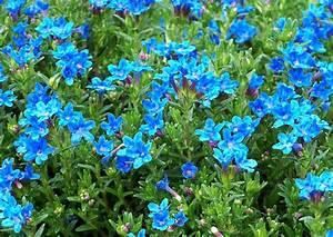 Bodendecker Blaue Blüten : lithodora diffusa heavenly bl blauer steinsame lithospermum saurer boden viel wasser sonne ~ Frokenaadalensverden.com Haus und Dekorationen