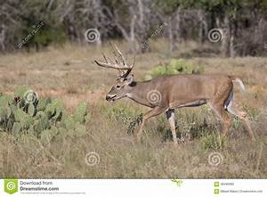 Big Typical Whitetail Buck During The Rut Stock Photo ...
