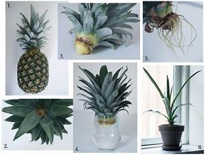 Plant D Ananas : 25 best ideas about pineapple plant care on pinterest how are pineapples grown pineapple ~ Melissatoandfro.com Idées de Décoration