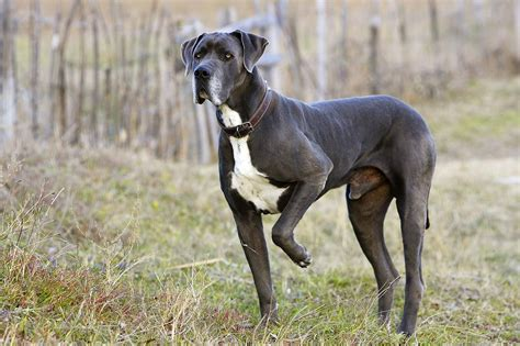 small living room ideas pictures great dane breed profile