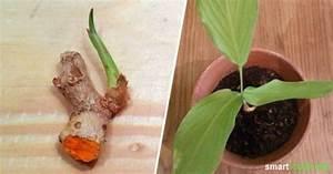 Kurkuma Pflanze Pflege : heilsames kurkuma selbst anbauen und vermehren k che kr uter etc garten pflanzen und ~ Eleganceandgraceweddings.com Haus und Dekorationen