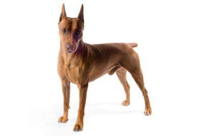 German Pinscher Dog Breeds