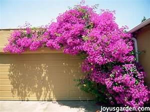 The Secrets Of Bougainvillea: Sharing All I Know About ...