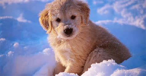 Adorable  Ee  Golden Retriever Puppies Ee   In The Snow Snow Addiction News About Mountains Ski