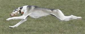 Lure Coursing | The Saluki or Gazelle Hound Club