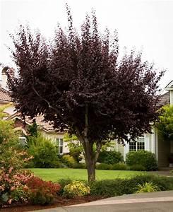 Baum Mit Roten Blättern : 18 gartenstr ucher mit roten bl ttern f r sch ne gartengestaltung ~ Eleganceandgraceweddings.com Haus und Dekorationen