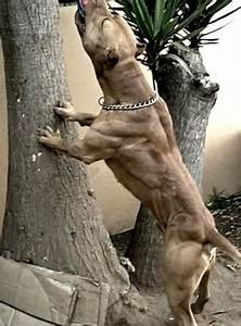 Top 10 muscular dog breeds In the World