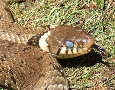 when do pythons shed their skin read the rhs wildlife gardening rhs gardening