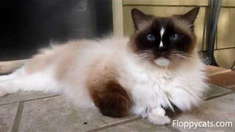 Ragdoll Cat Charlie Blue Eyes Chillin Like A Villain