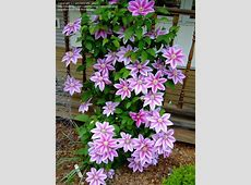 PlantFiles Pictures Clematis, Early Largeflowered
