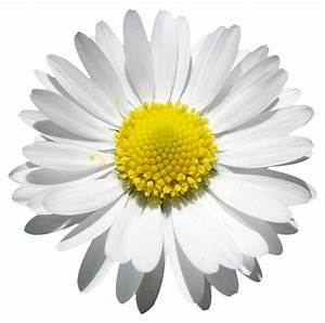 Daisy beauty, Png file, Attention only the maximum ...