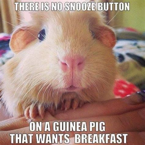 Guinea Pig Memes - 42 best guinea pig meme board images on pinterest guinea pigs pigs and cavy