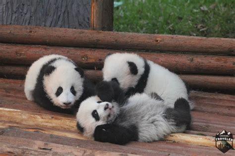panda chengdu china giant babies kindergarten pandas feet cubs they walk bite research center unusualtraveler