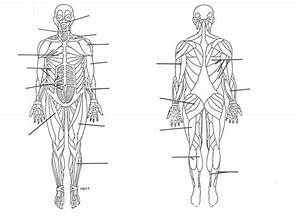 Unlabeled Musculoskeletal System Diagram