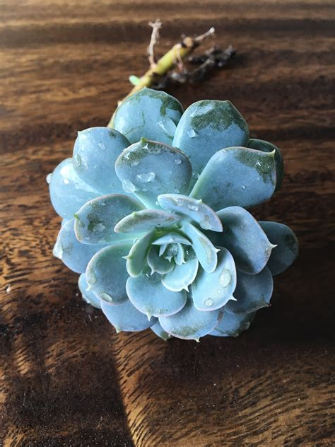 Echeveria Succulent | Cactus Kingdom
