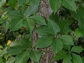 Poison Oak Sumac and Poison Ivy