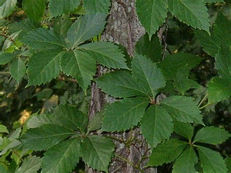 what does poison sumac look like is this poison ivy or poison oak or poison sumac www poisonivy us
