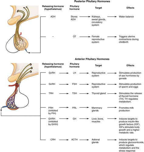The Pituitary Gland And Hypothalamus Anatomy And