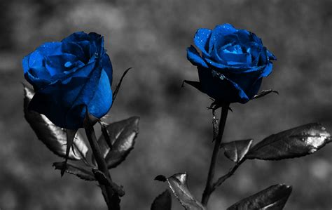 blue rose wallpapers hd pictures  hd wallpaper