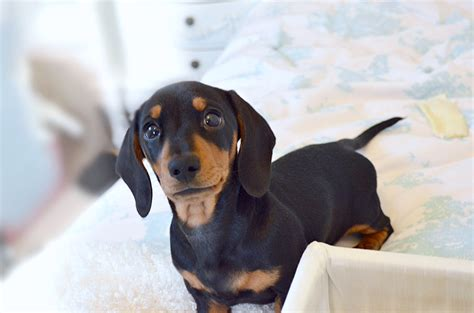 Things You Should Probably Know About Miniature Dachshund