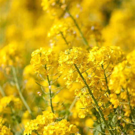 mq yellow flower spring fun nature papersco