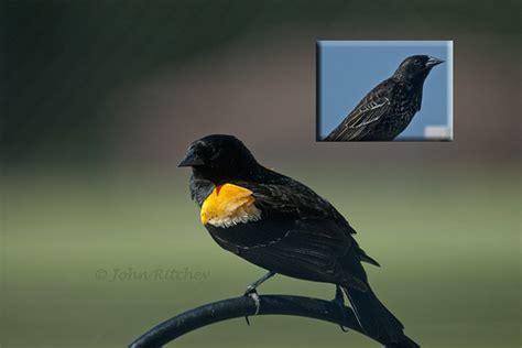 orange winged black bird flickr photo sharing