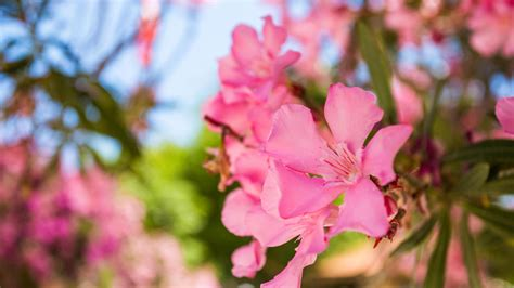 oleander ähnliche pflanzen oleander richtig schneiden vermehren 252 berwintern gie 223 en