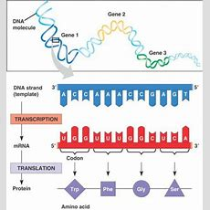 Protein Production A Simple Summary Of Transcription And Translation Owlcation