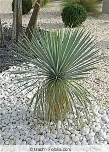 Palme Winterhart Kübel : kerzen palmlilie yucca gloriosa pflege und berwintern ~ Michelbontemps.com Haus und Dekorationen