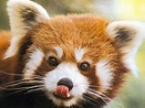 Red Panda | Animal Wildlife