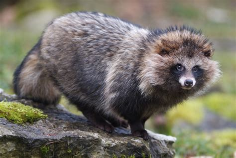 stock photography raccoon dog nyctereutes procyonoides