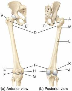 Print Multichoice  The Skeletal System  The Appendicular