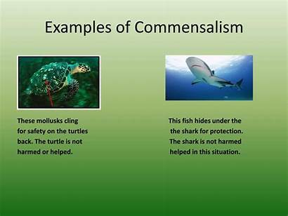 Commensalism Examples Organisms Interactions Turtle Shark Harmed