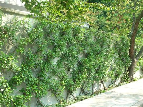espaliered trees how to grow espalier fruit trees