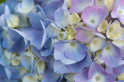 blue hydrangea how to change the color of hydrangeas