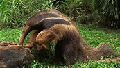 Five Physical Adaptations for Anteaters   Sciencing