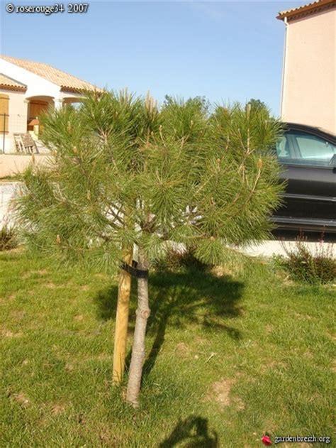 pin parasol pin pignon les arbres et les arbustes de mon jardin les galeries photo de