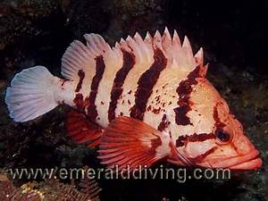 Rockfish Species Index