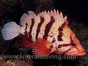 Rockfish Species Index