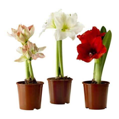 hippeastrum plante en pot ikea