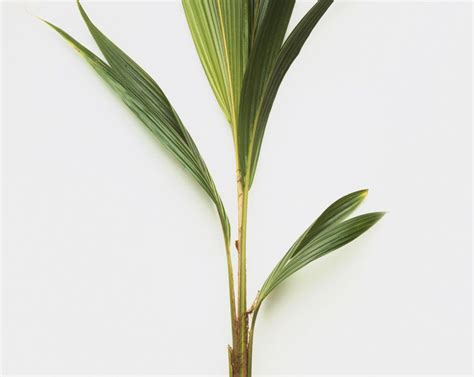 growing coconut palms as a house plant
