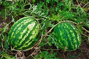 How to Plant and Grow Watermelon